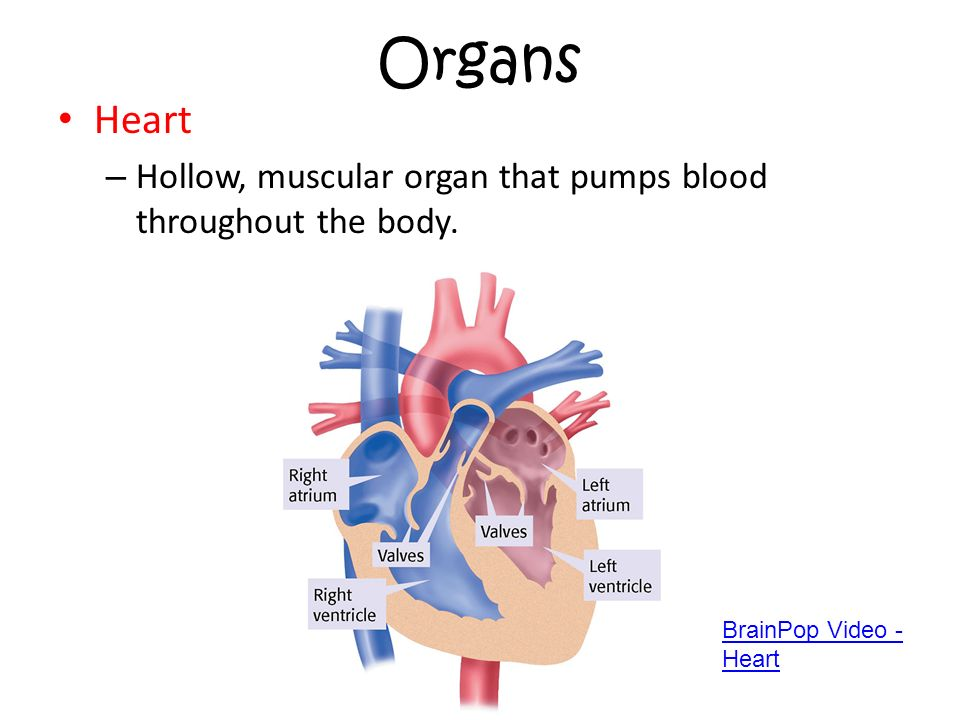 how is blood pumped throughout the How the heart works the heart is responsible for circulating blood throughout the body  from here the oxygenated blood is pumped out to the rest of the body .
