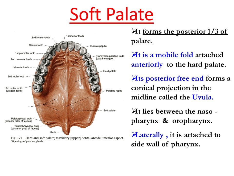 development of soft palate Palate: palate,, in vertebrate anatomy, the roof of the mouth, separating the oral and nasal cavities it consists of an anterior hard palate of bone and, in mammals, a posterior soft palate that has no skeletal support and terminates in a fleshy, elongated projection called the uvula the hard palate.