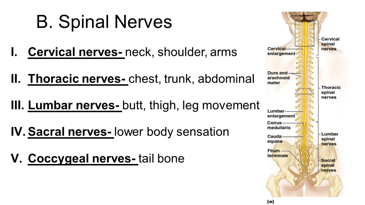 08  20SPINAL 20NERVES  20NERVE 20PLEXUSES likewise 9702998 further Of The Dorsal Ventral Cranial Vertebral Thoracic Abdominal Pelvic Abdominal Or P additionally 6060919 in addition 361413938820978557. on ventral thoracic organs