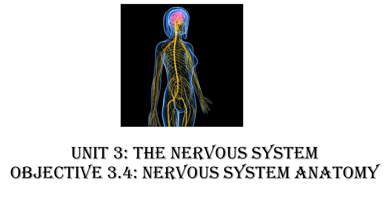 the nervous system ii anatomy review View homework help - exercisenervousii from biol 2210k at gordon college  the nervous system ii: anatomy review 1 the somatic nervous system.