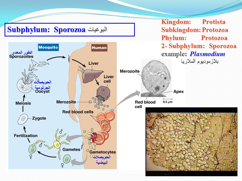 the phylum microspora of parasitic protists and its host specificity Free flashcards to help memorize facts about mrs d - protozoa other activities to help include hangman, crossword, word scramble, games, matching, quizes, and tests.