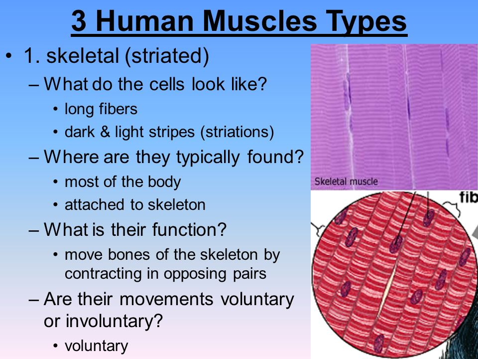 3 human muscle types – citybeauty, Muscles