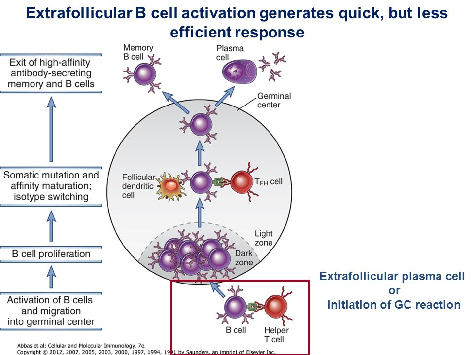 B Cell Activation Germinal Center Immunological m...