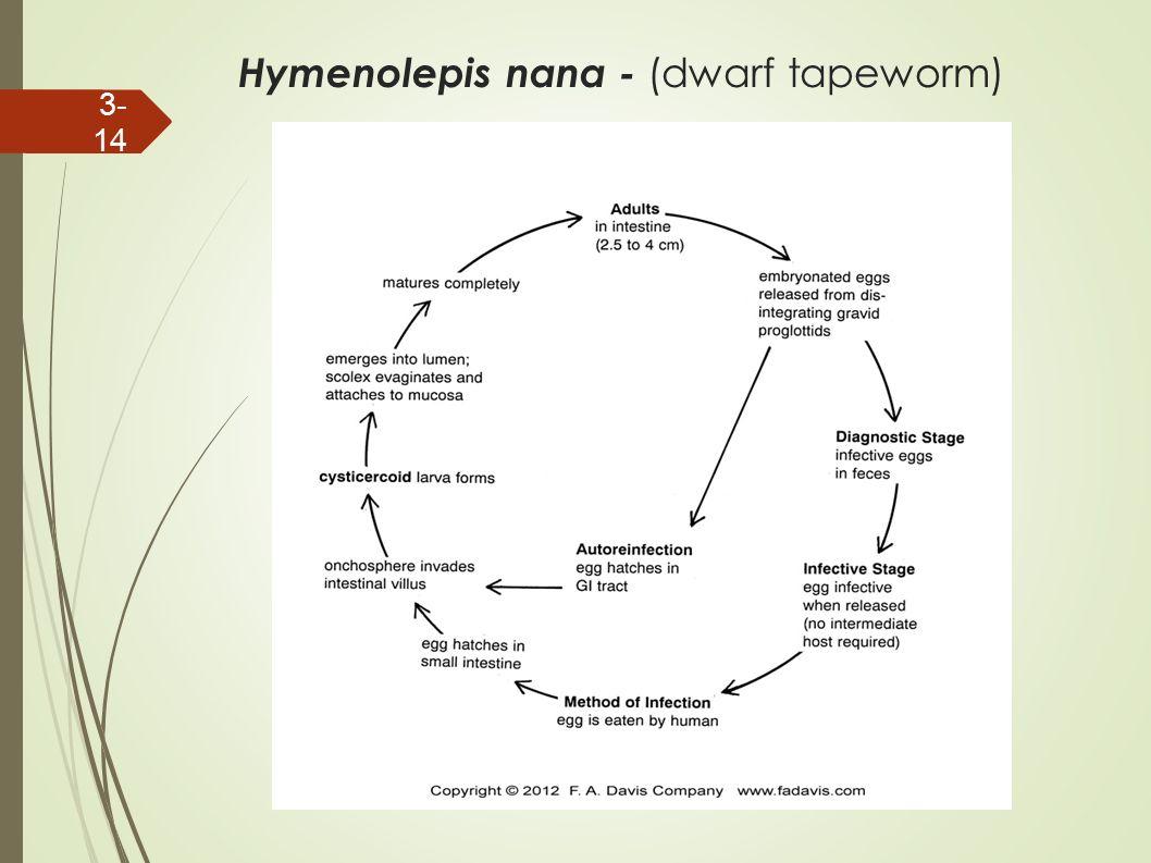 Cestoda chapter ppt download 14 hymenolepis nana dwarf tapeworm pooptronica