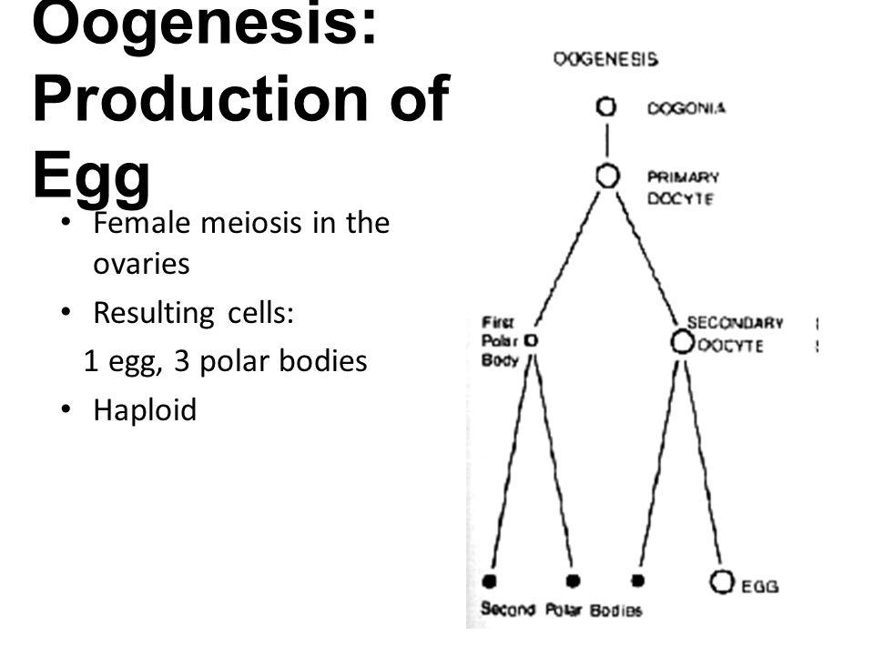 meiosis vs  mitosis