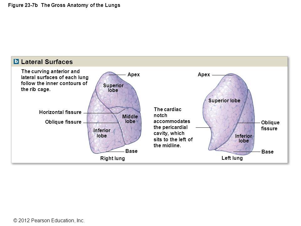 Oblique Fissure Surface Anatomy