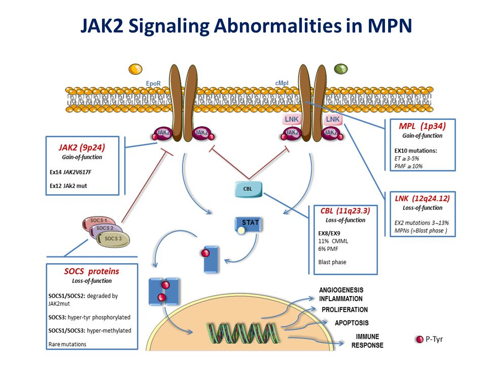 JAK2 Signaling Abnormalities in MPN