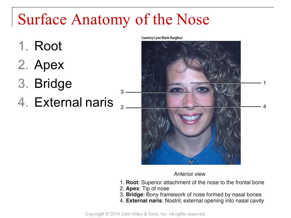 Old Fashioned Surface Anatomy Of The Face Gallery - Image of ...
