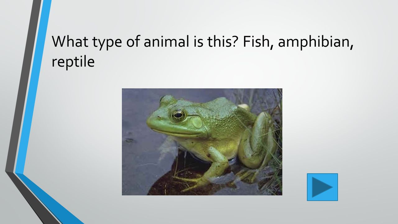 Chapter 11 fishes amphibians and reptiles ppt video for What kind of fish is this