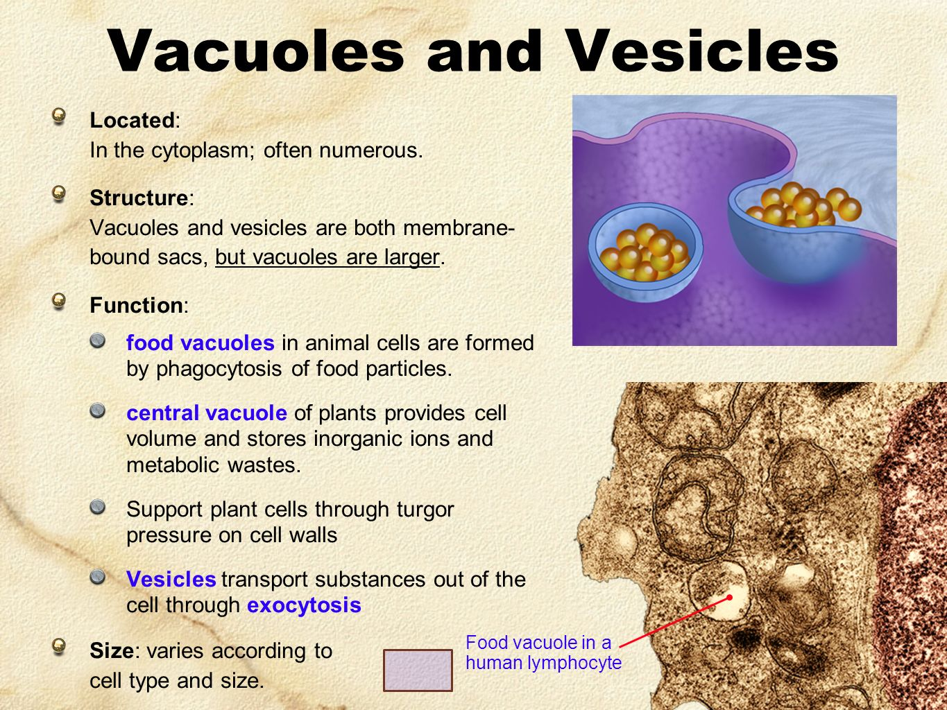 vacuoles and vesicles How to draw a cell from an animal updated on january 23, 2013 patrice m more  vacuoles are vesicles surrounded by membranes that store food and waste products.