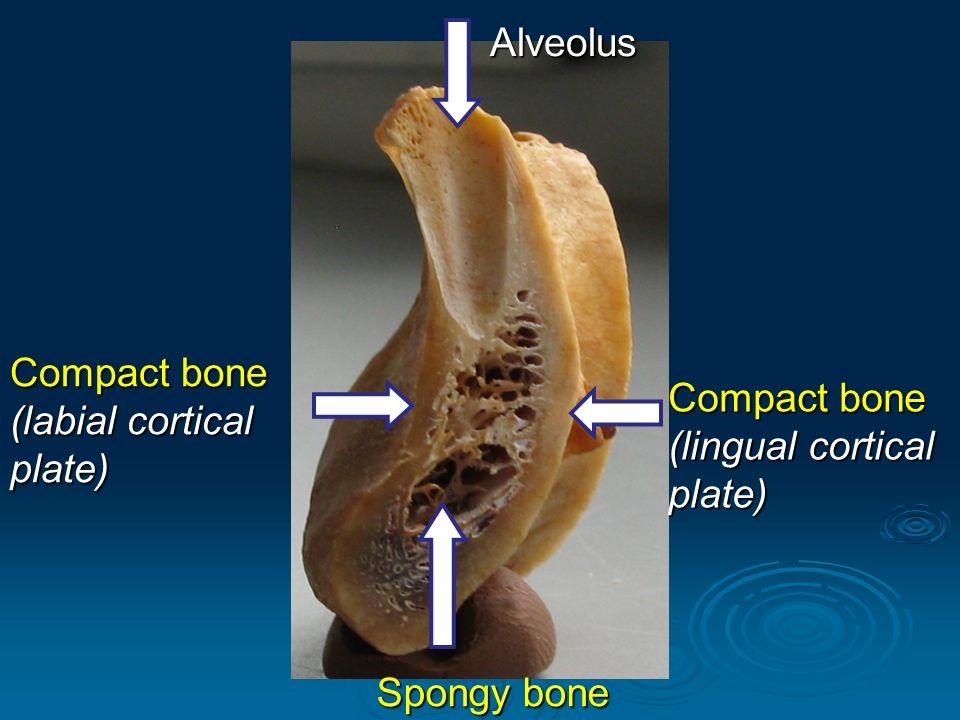 mandibula lower jaw ppt download