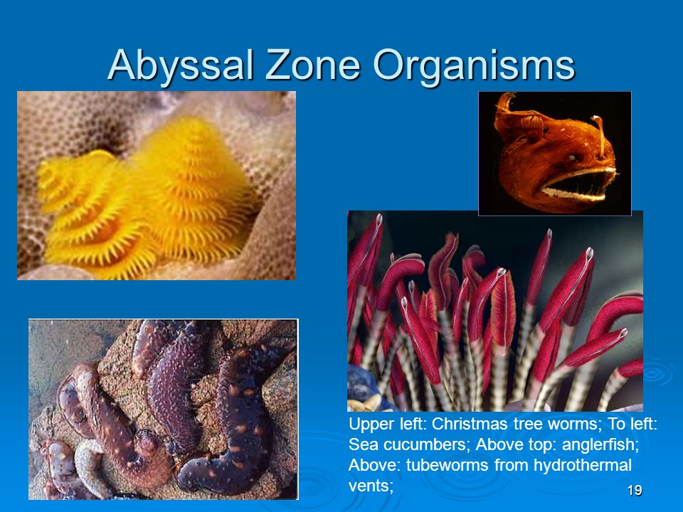 Abyssal Zone Organisms