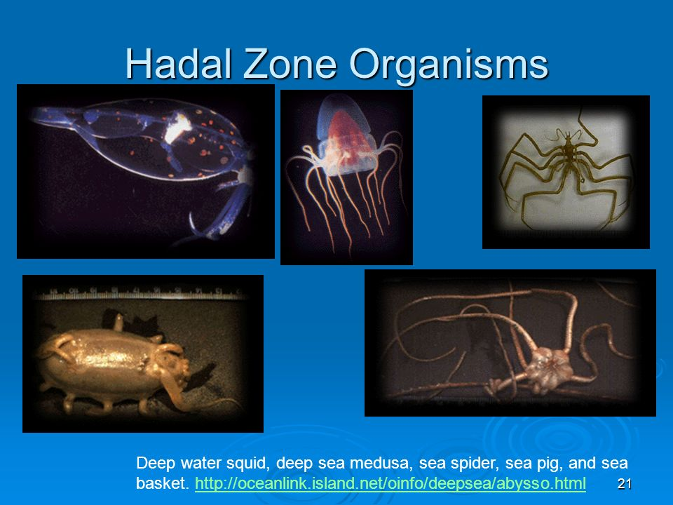 Hadal Zone Organisms Deep water squid, deep sea medusa, sea spider, sea pig, and sea basket.