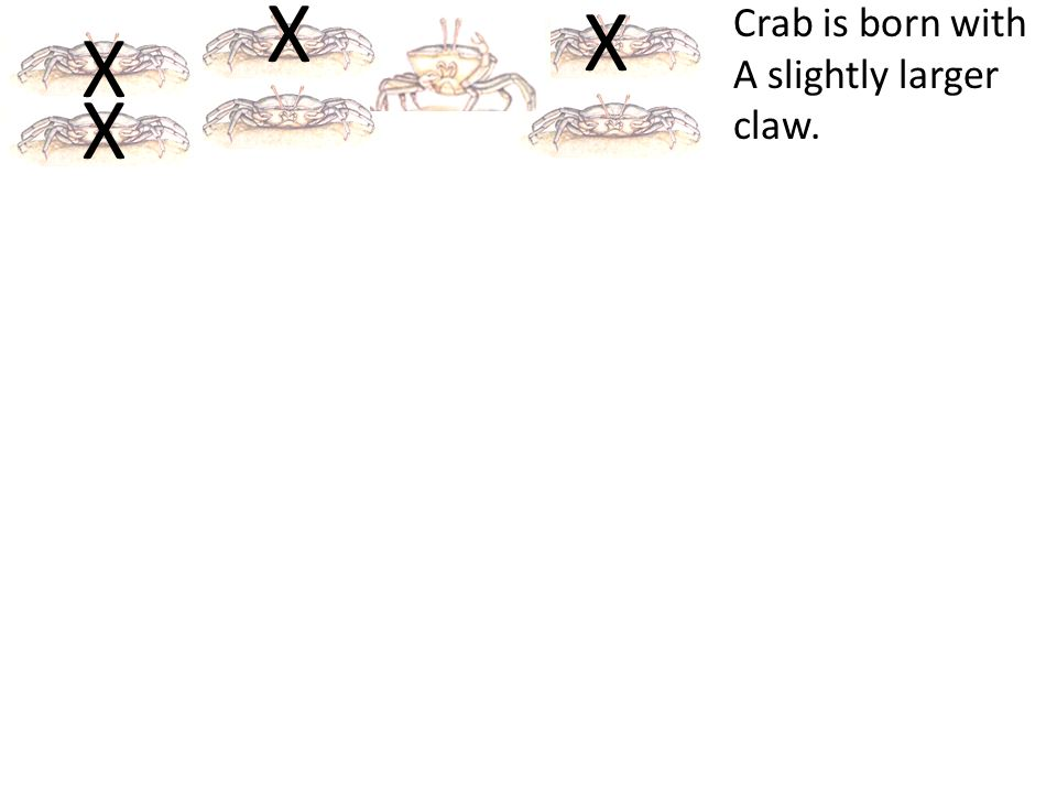 X Crab is born with A slightly larger claw.