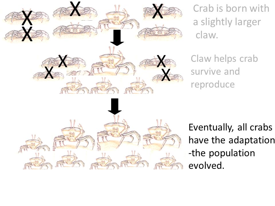 X X X X X Crab is born with a slightly larger claw.