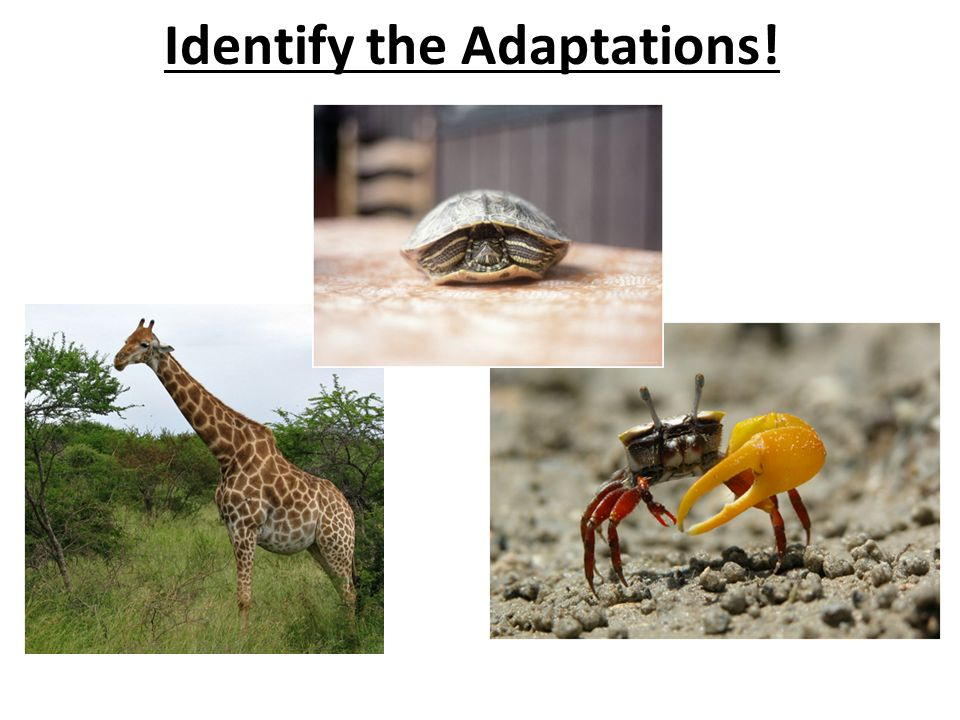 Identify the Adaptations!