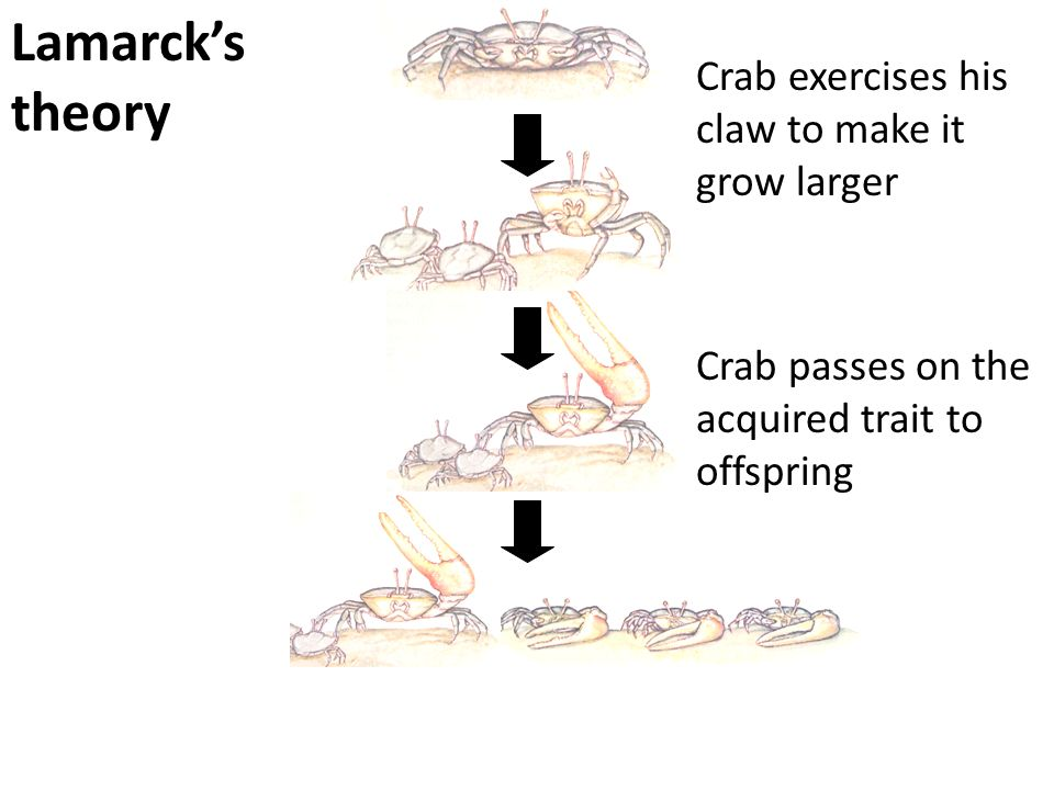 Lamarck's theory Crab exercises his claw to make it grow larger