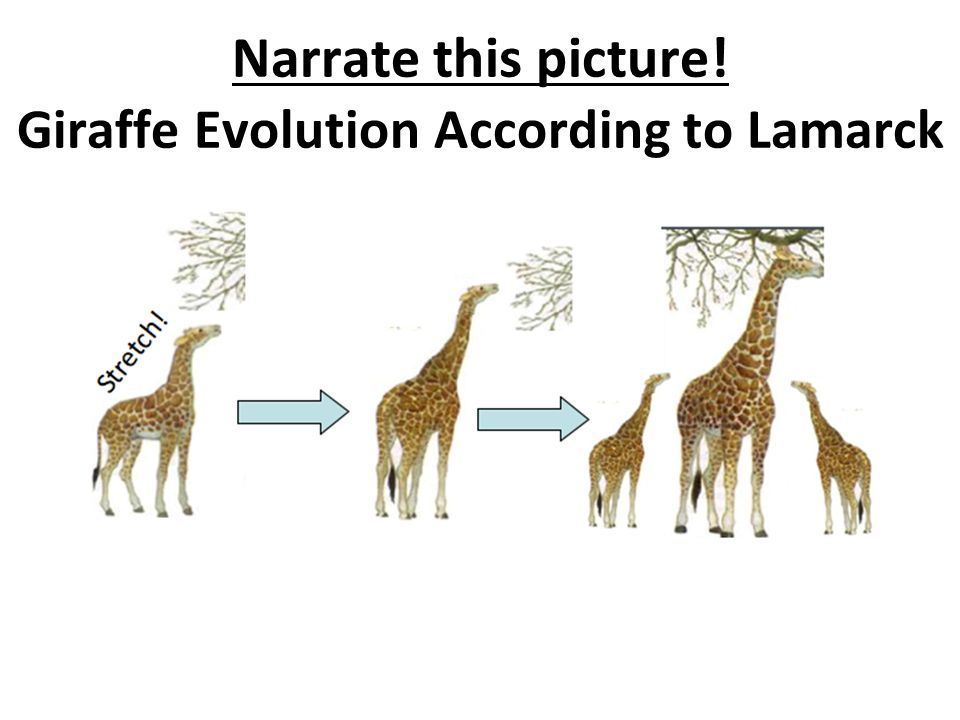 Narrate this picture! Giraffe Evolution According to Lamarck