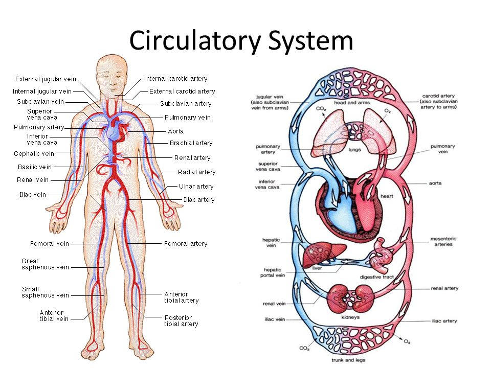 Circulatory System - Type 2 Diabetes