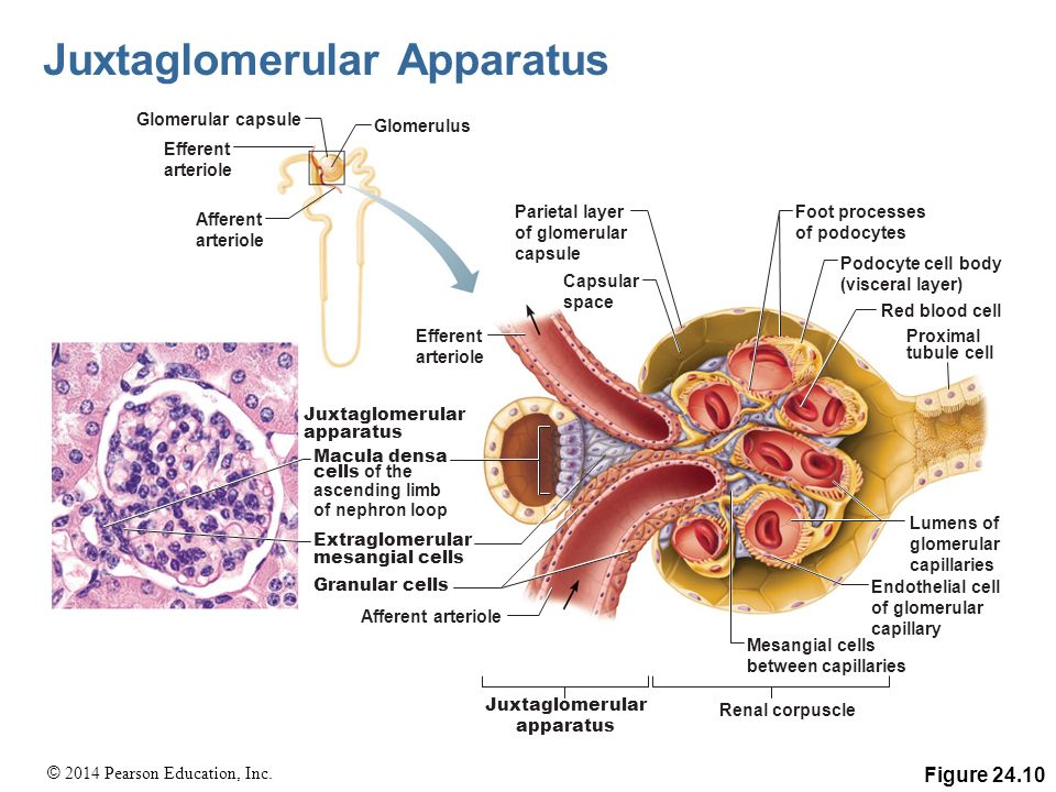 Extraglomerular Mesangial Cells The Urinary System Pag...