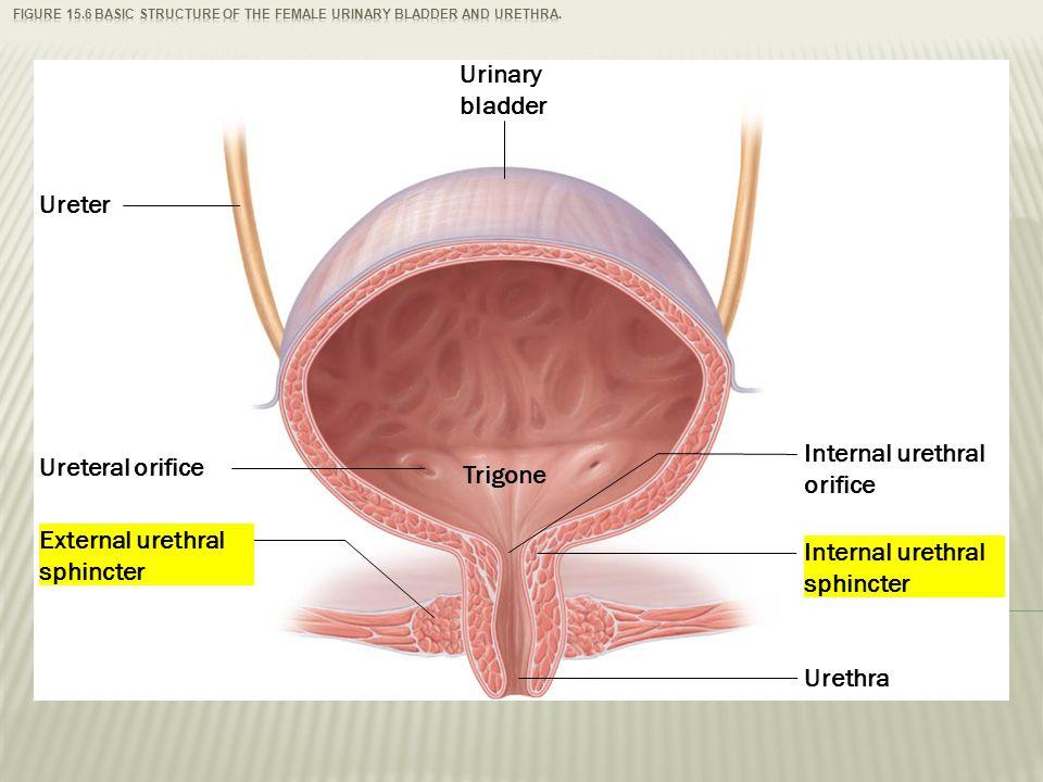 Urinary Bladder Female