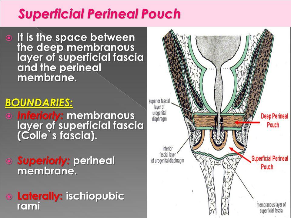 Perineal Membrane Imag...
