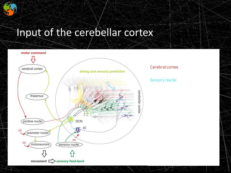 Input of the cerebellar cortex