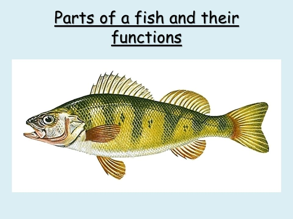 Parts Of A Fish And Their Functions Ppt Video Online Download