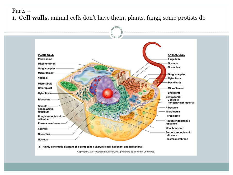 Chapter 4 part a eukaryotic cells ppt download cell walls animal cells dont have them plants fungi some protists do ccuart Gallery