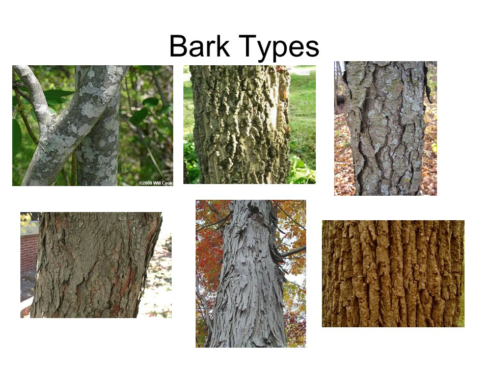 Unit: 2 Forest plant identification - ppt video online ... Different Types Of Tree Bark