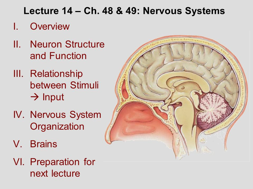 relationship and differences between the central and peripheral nervous system essay The main difference is that the central nervous system that includes the brain and spinal cord processes information it receives from the peripheral nervous system the peripheral nervous system.