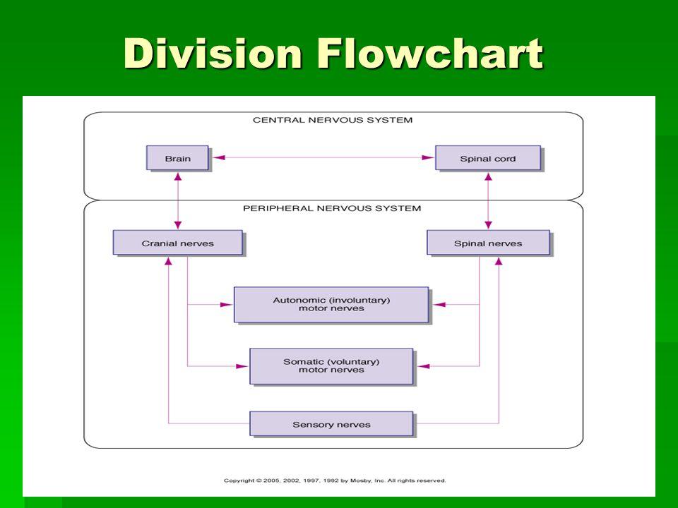 Nervous system flowchart flowchart in word for Div flow