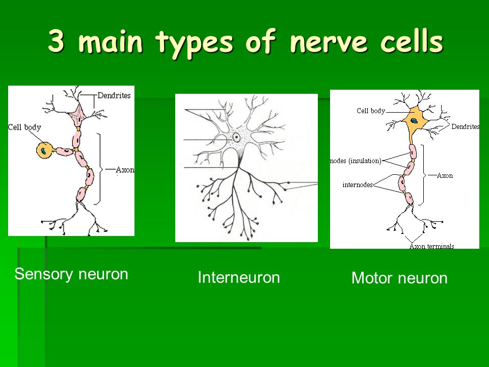 The Nervous System Health Science 1 Ms Marta Valdes. Example Of A Resume Summary Statement. Warehouse Job Resume. Resumes For Receptionist In Office. Entry Level Web Developer Resume. System Administrator Resume Format Doc. How Long Is Too Long For A Resume. Banker Resume. Opening Statement For Resume