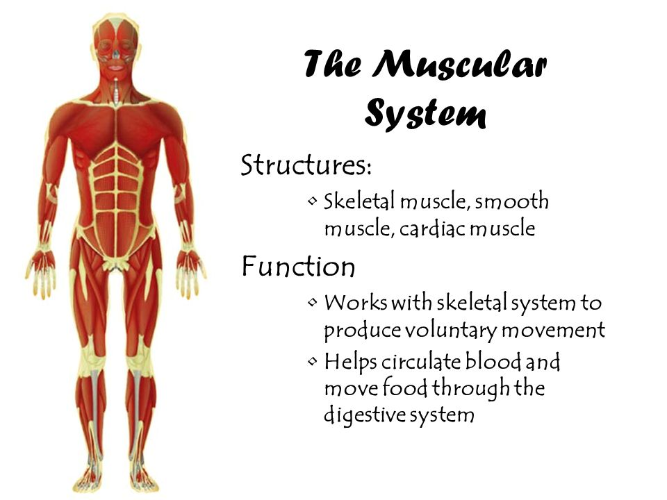 Muscular System Structures Tenderness