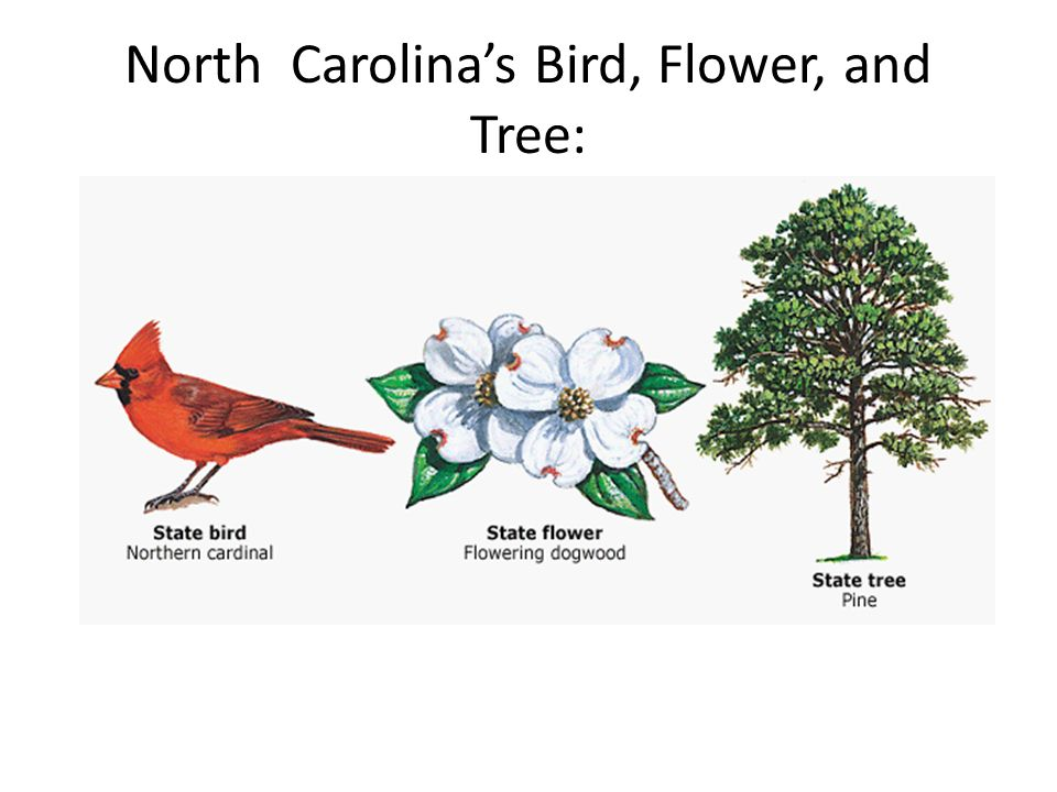 4 north carolinas bird flower and tree