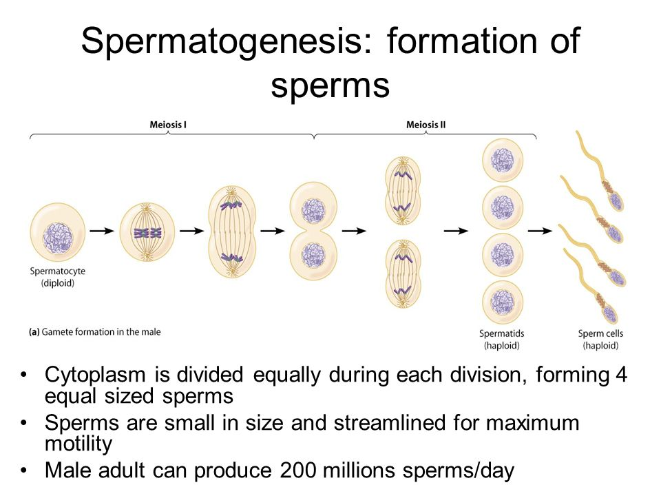 process of egg formation pdf