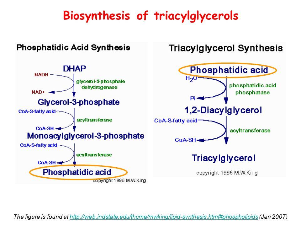 lipid resynthesis The mechanisms for digestion and absorption of dietary triglycerides have been extensively studied, reflecting the importance of triglycerides in normal human nutrition and in disease states the western diet contains a large amount of triglycerides, typically 60–120 g/day normally, 95 % or more .