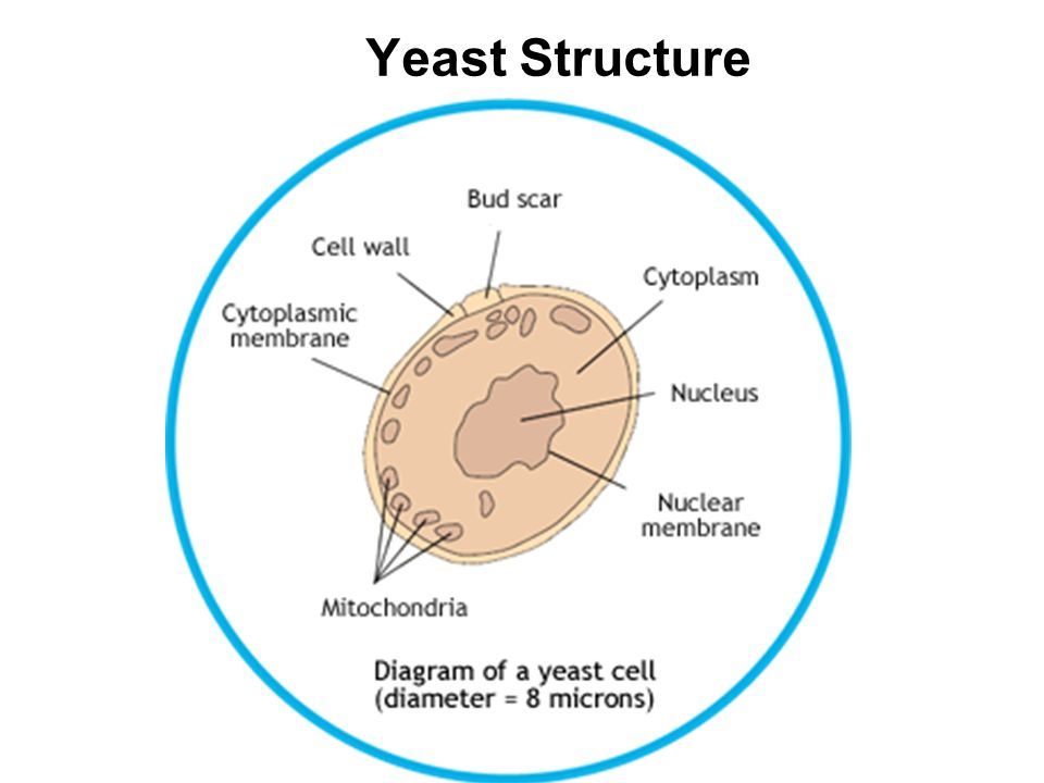 Labelled Diagram Of A Yeast Cell Choice Image - How To ...