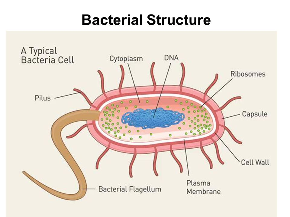 leaf of a cell diagram structure of bacterial cell diagram #6