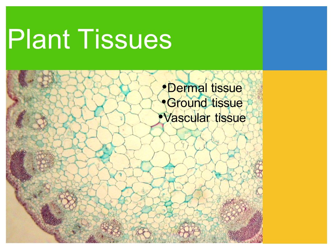 ground tissues The ground tissue of plants includes all tissues that are neither dermal nor vascularit can be divided into three types based on the nature of the cell walls 1) parenchyma cells have thin.