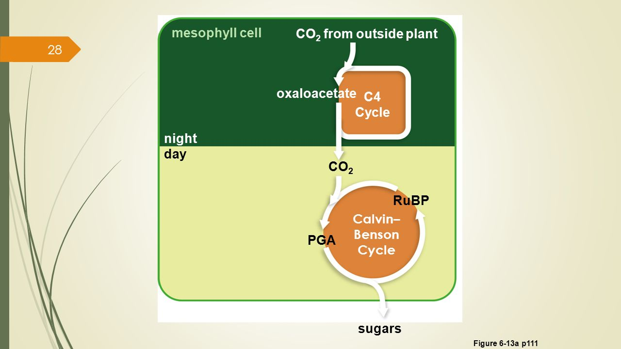 Chapter 6 Where It Starts – Photosynthesis - ppt download