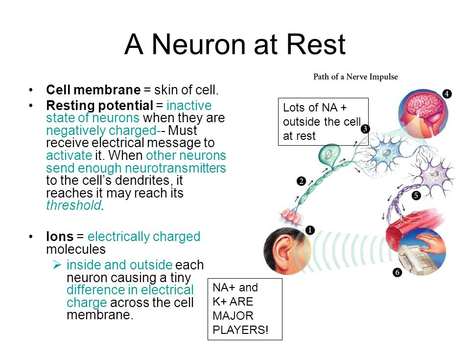 Neurons. - ppt video online download