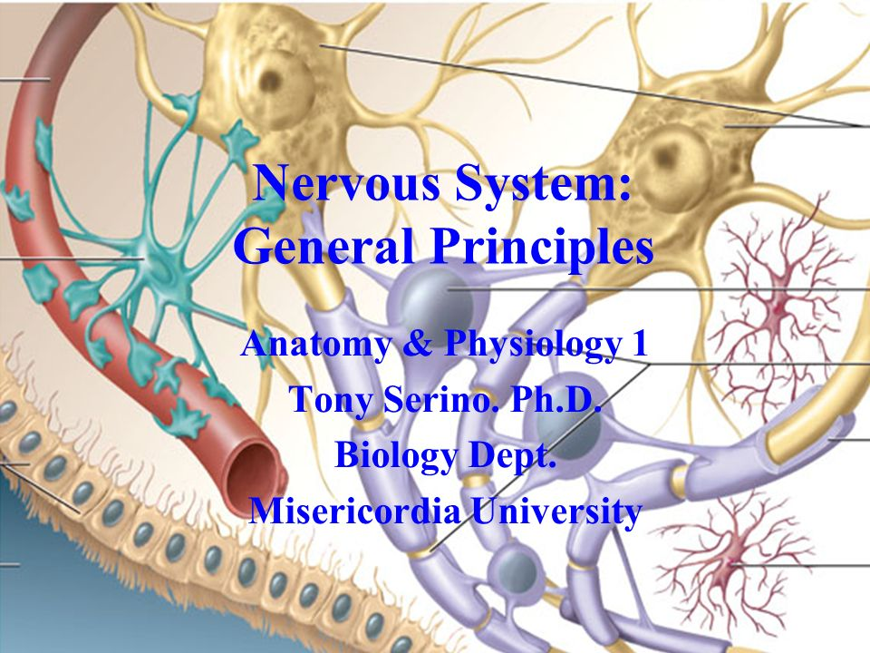Famous Anatomy And Physiology The Nervous System Elaboration ...