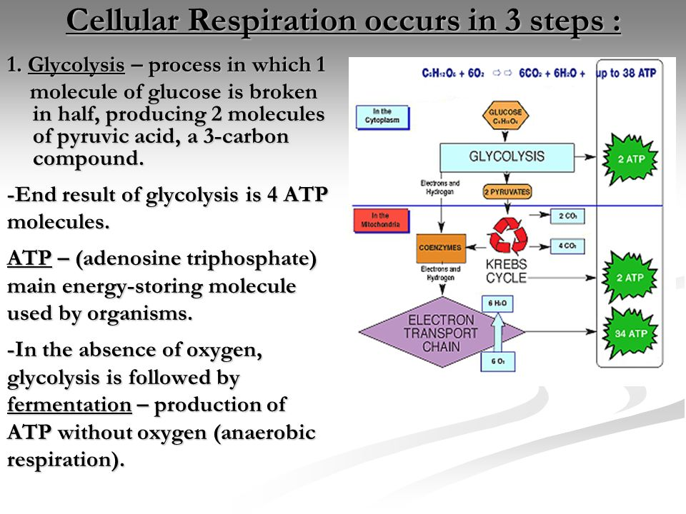 adenosine triphosphate and aerobic respiration Aerobic respiration uses oxygen to break down glucose, amino acids and fatty acids and is the main way the body generates adenosine triphosphate (atp), which supplies energy to the muscles.