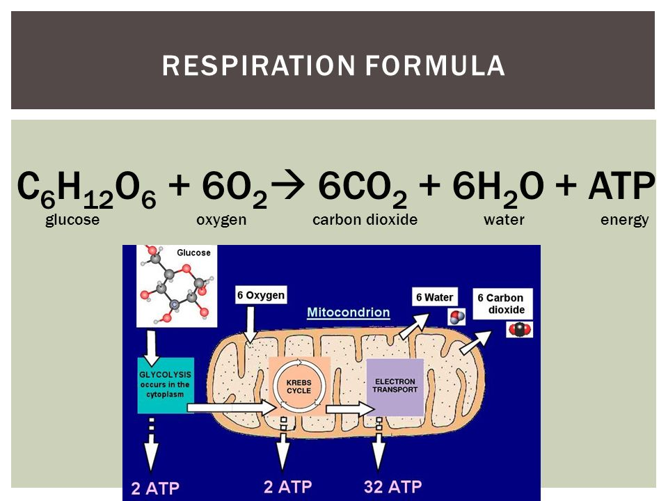 relationship between mitochondria and respiration rate