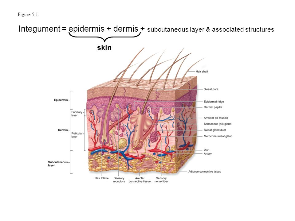 Epidermis Dermis Subcutaneous Layers Diagram Enthusiast Wiring