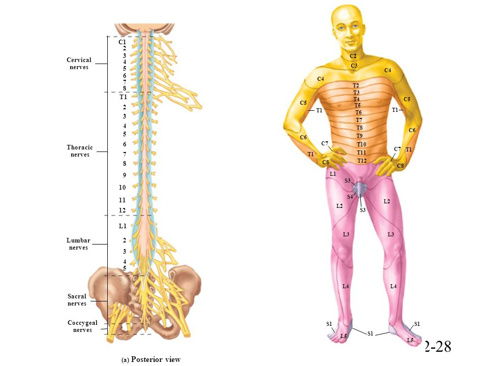 Lumbar Nerves 4 And 5 Image Information