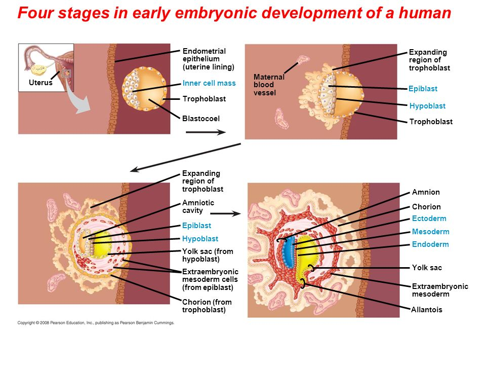 the four phases of human sexual Title: human sexual development: biological foundations for social development author: milton diamond, phd published: human sexuality in four perspectives, f a beach (ed), pp 22 - 61.