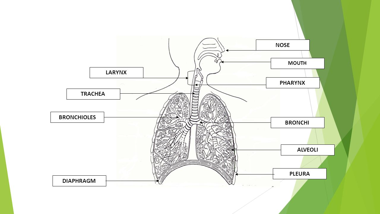 Respiratory system test study review ppt download respiratory system test study review 2 nose ccuart Images