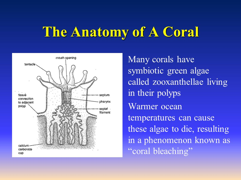 relationship between zooxanthellae and coral polyps anatomy
